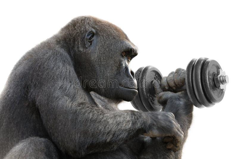 Gorila que elabora com um dumbbell foto de stock