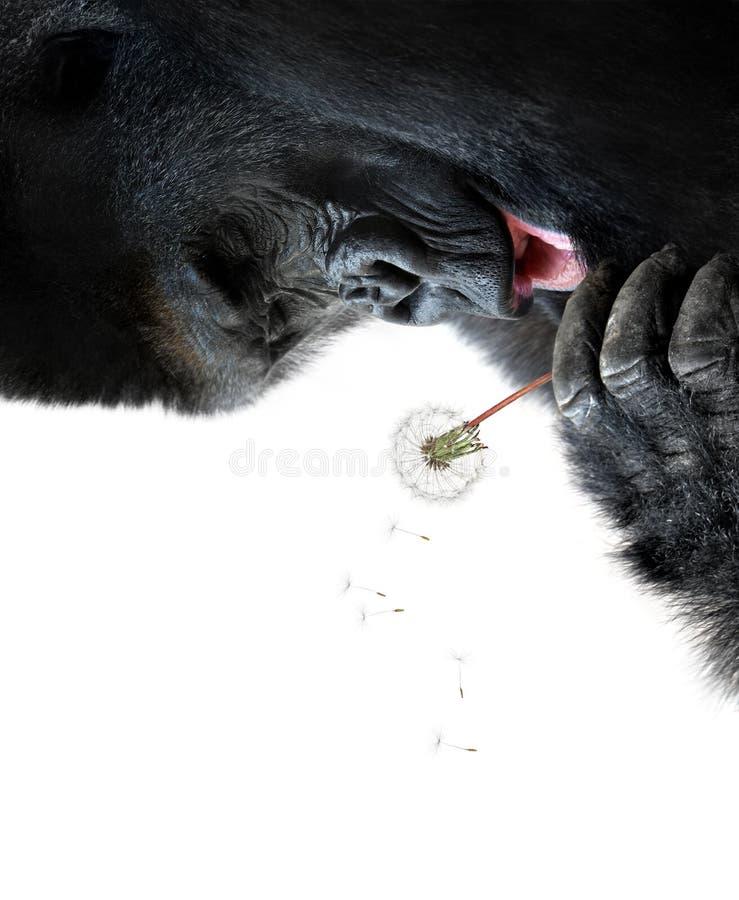Gorila que hace un deseo, aislado en el fondo blanco imagen de archivo