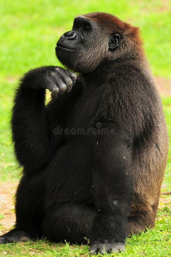 Gorila que levanta em uma sessão fotográfica foto de stock
