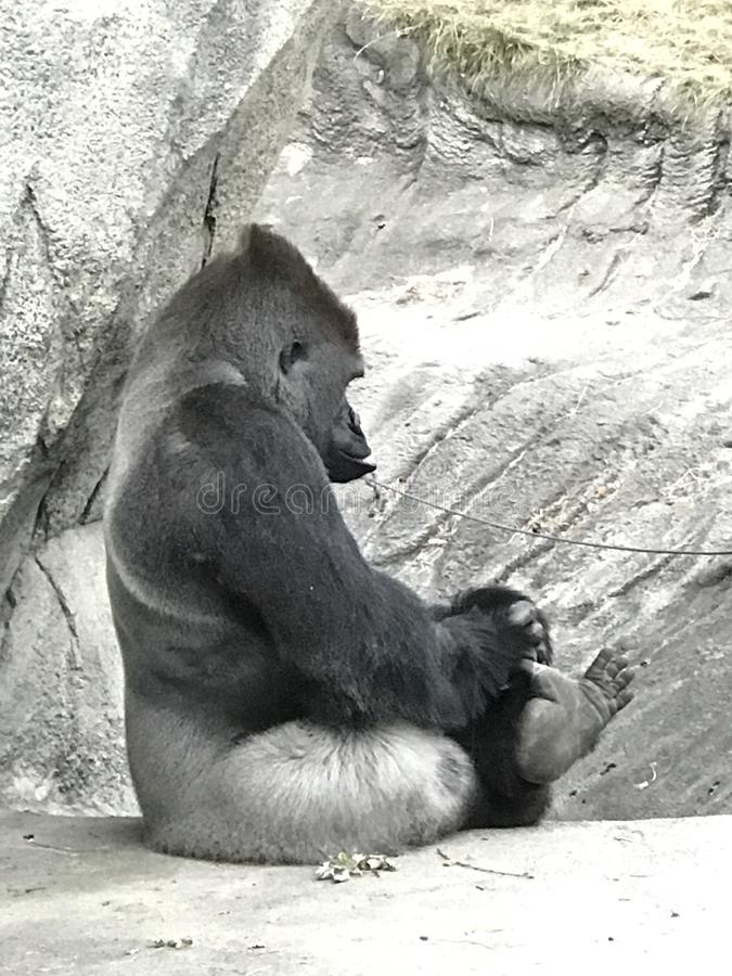 Gorila que limpa seus dedos do pé imagens de stock royalty free