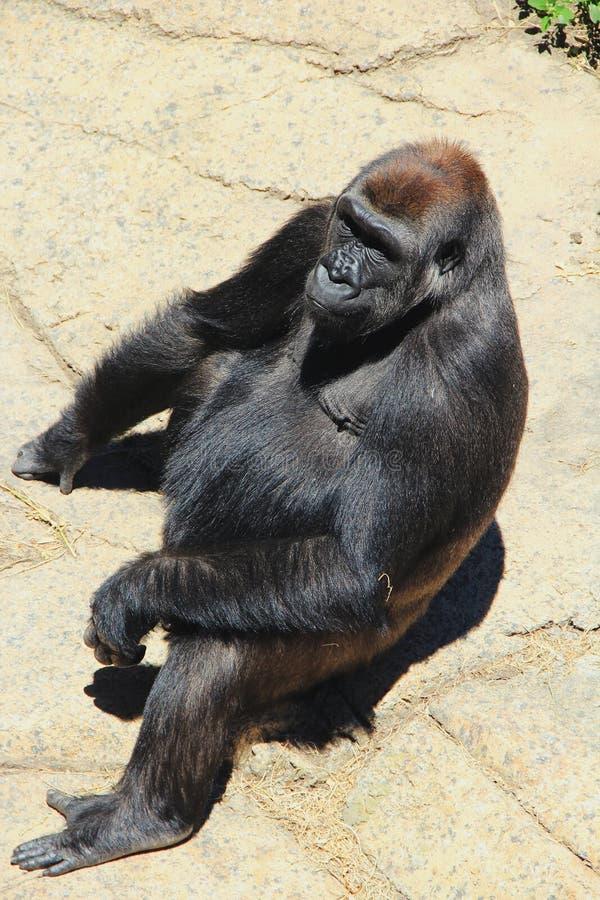 Gorila que se sienta en el sol fotografía de archivo