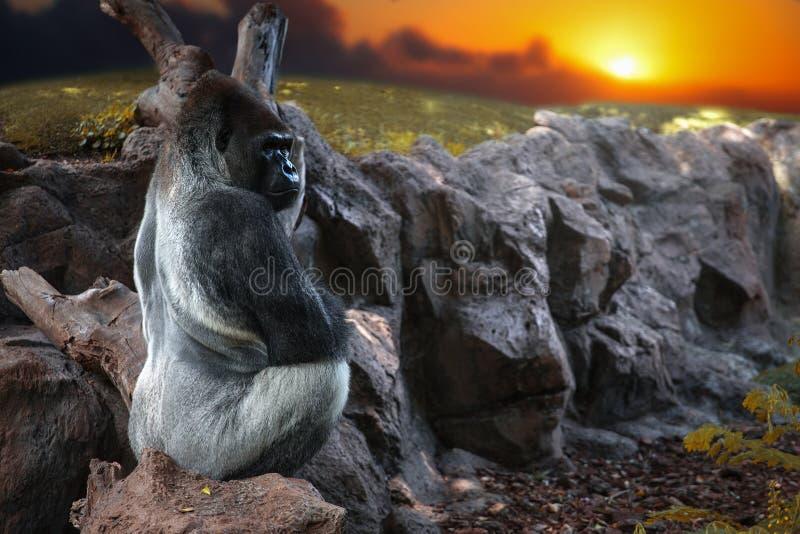 Gorila que senta-se em uma rocha fotos de stock