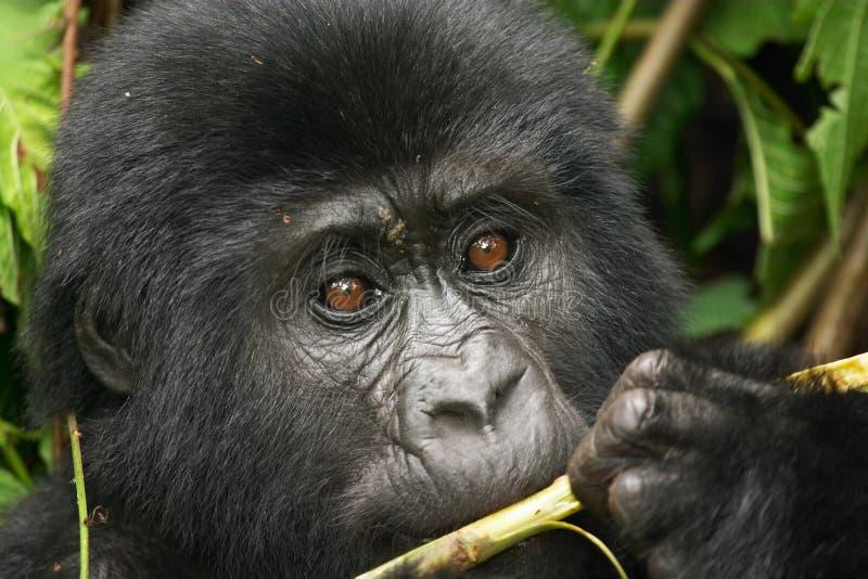 Gorila salvaje imagen de archivo libre de regalías