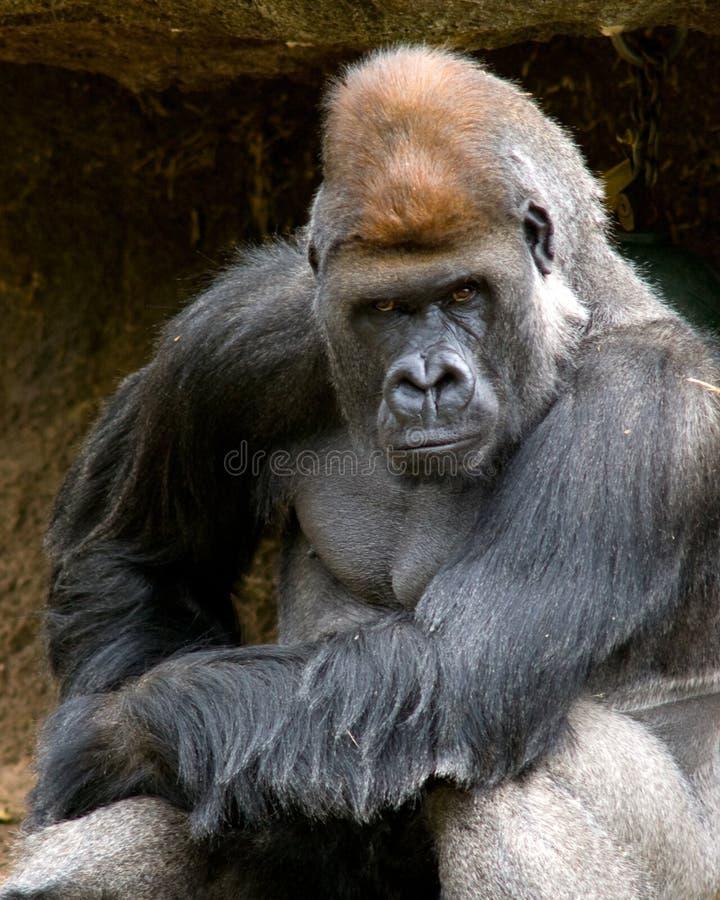 Gorila temperamental imagens de stock royalty free