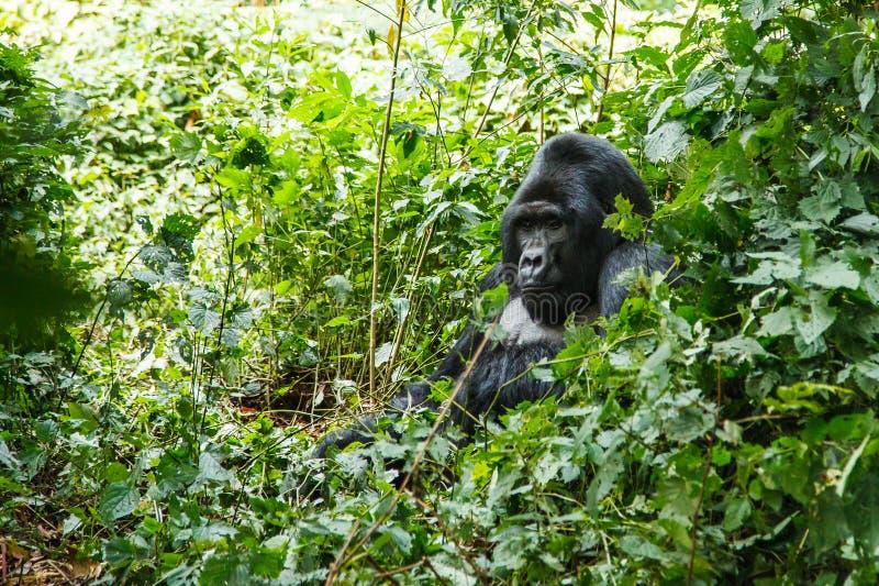 Gorila trasero de la plata fotos de archivo libres de regalías