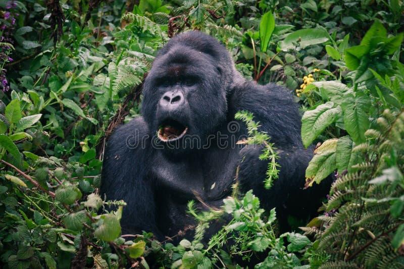 Gorila trastornado de Silverback de la selva tropical de Rwanda imagen de archivo libre de regalías