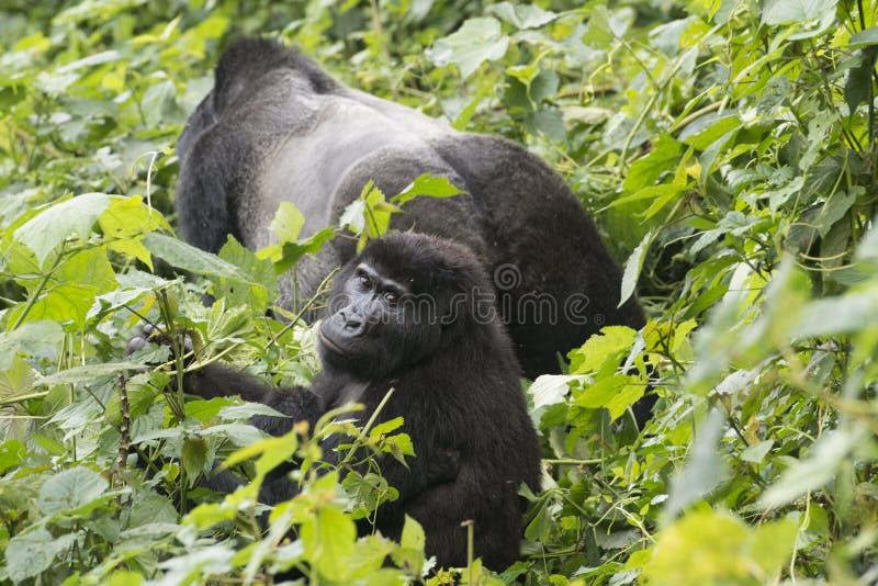 Gorila y silverback en la selva de Uganda fotos de archivo