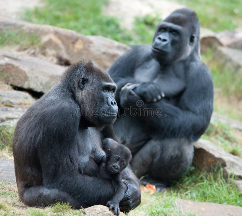 Gorila y su bebé imagenes de archivo