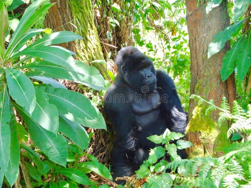 Gorilas de montaña de Rwanda foto de archivo