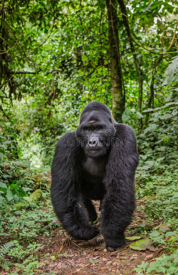 Gorilas de montaña en la selva tropical Uganda Bwindi Forest National Park impenetrable imagenes de archivo