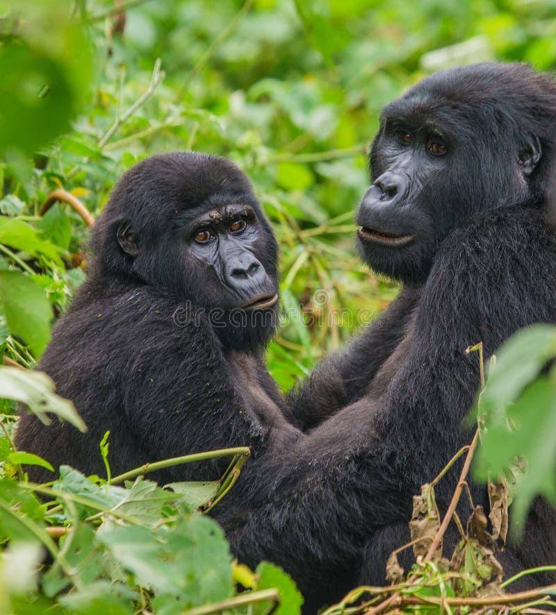 Gorilas de montaña en la selva tropical Uganda Bwindi Forest National Park impenetrable fotos de archivo