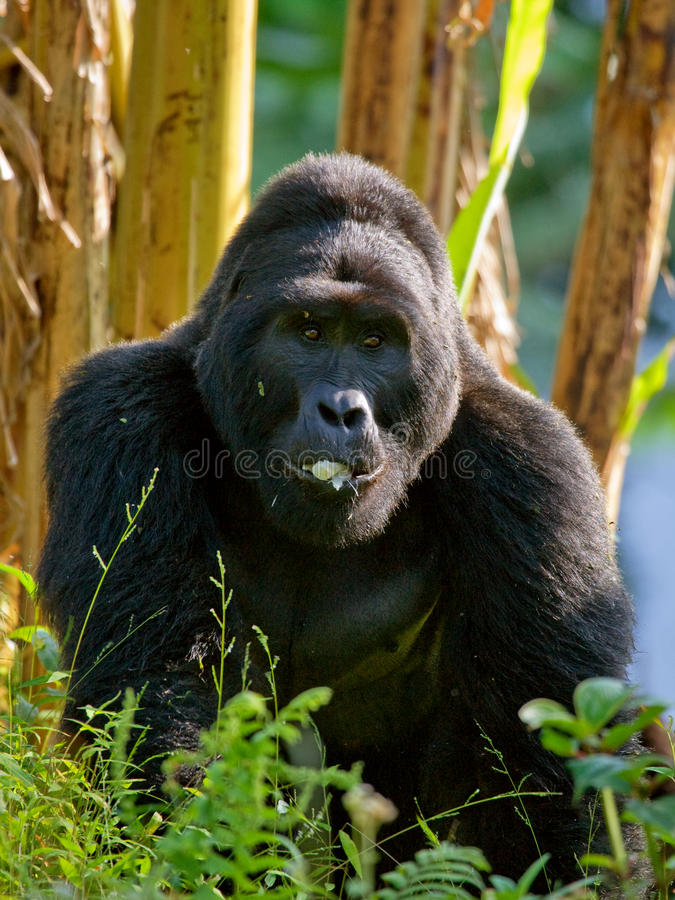 Gorilas de montaña en la selva tropical Uganda Bwindi Forest National Park impenetrable foto de archivo libre de regalías