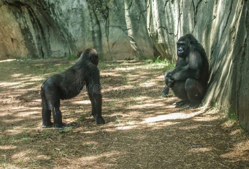 Gorilas occidentales occidentales en el parque zoológico del NC imagen de archivo