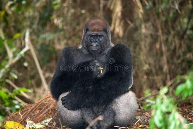 Gorilas occidentales en el salvaje El República del Congo imágenes de archivo libres de regalías