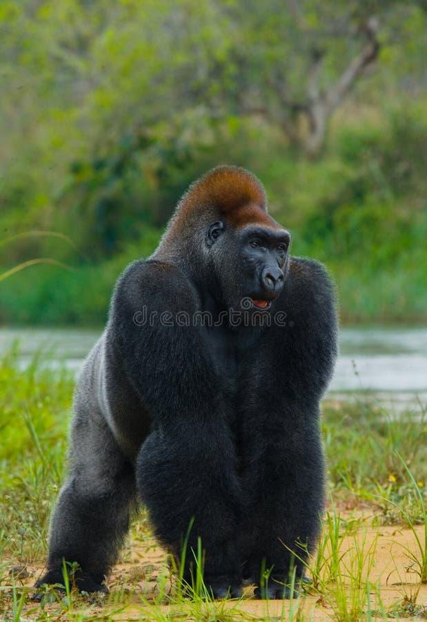 Gorilas occidentales en el salvaje El República del Congo fotografía de archivo libre de regalías