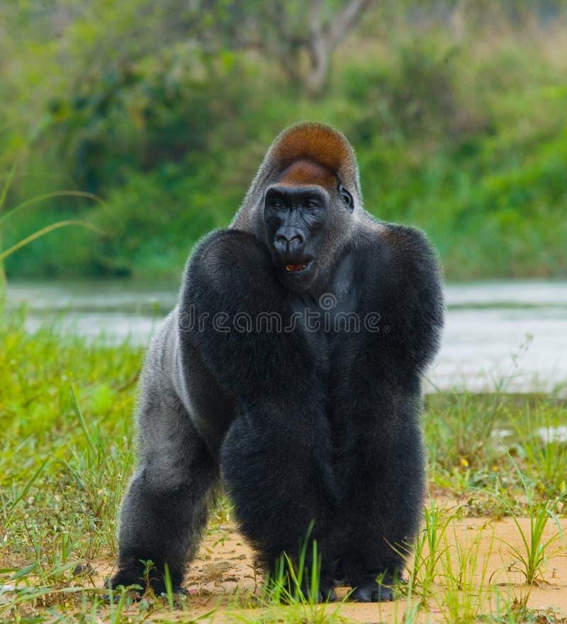 Gorilas occidentales en el salvaje El República del Congo foto de archivo libre de regalías