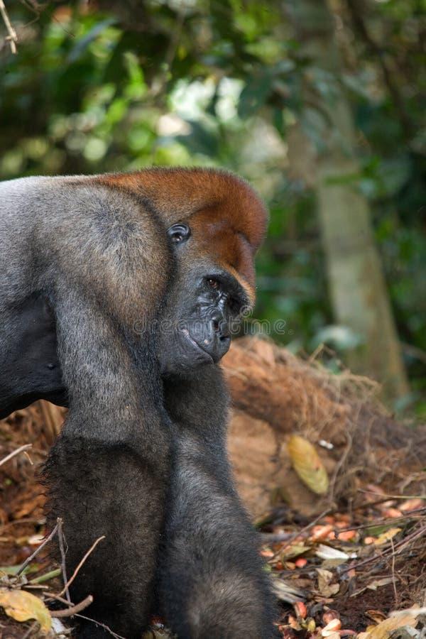 Gorilas occidentales en el salvaje El República del Congo imagen de archivo