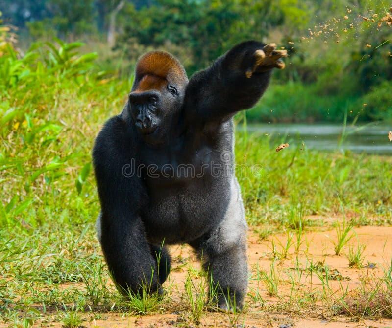 Gorilas occidentales en el salvaje El República del Congo foto de archivo