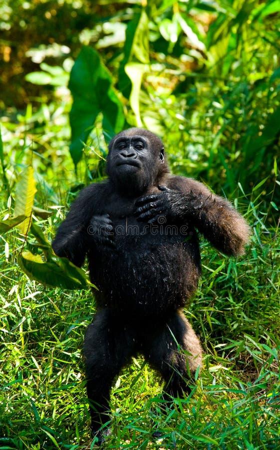 Gorilas occidentales en el salvaje El República del Congo fotos de archivo libres de regalías