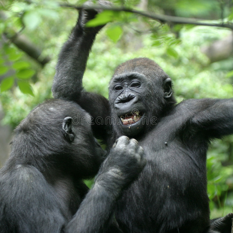 Download Gorilla stock image. Image of smile, grin, forest, face - 133279