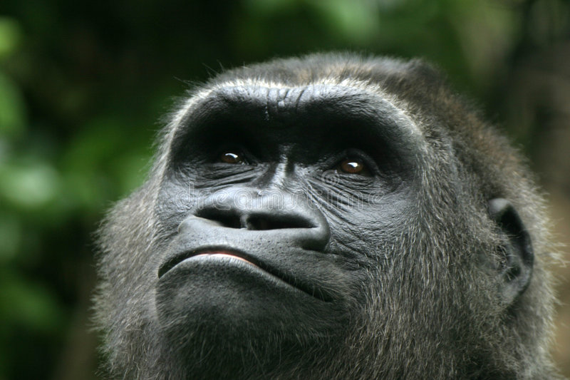 Download Gorilla stock photo. Image of face, dream, africa, apes - 133280