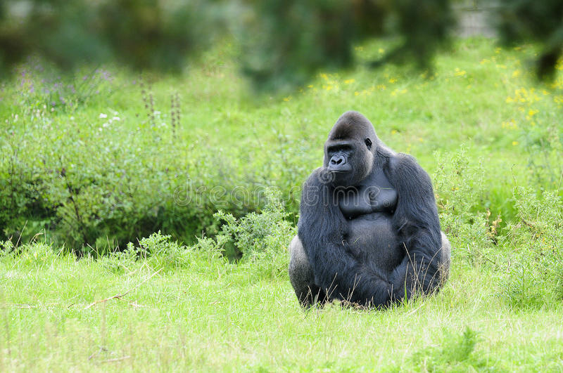 Download Gorilla stock photo. Image of male, lonely, nature, lowland - 13657456