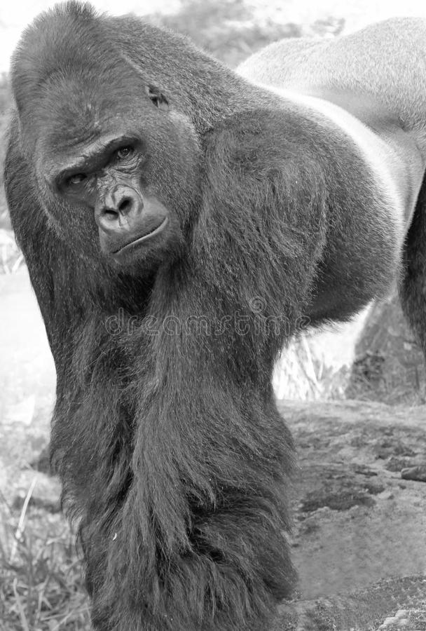 Gorilla royalty-vrije stock foto
