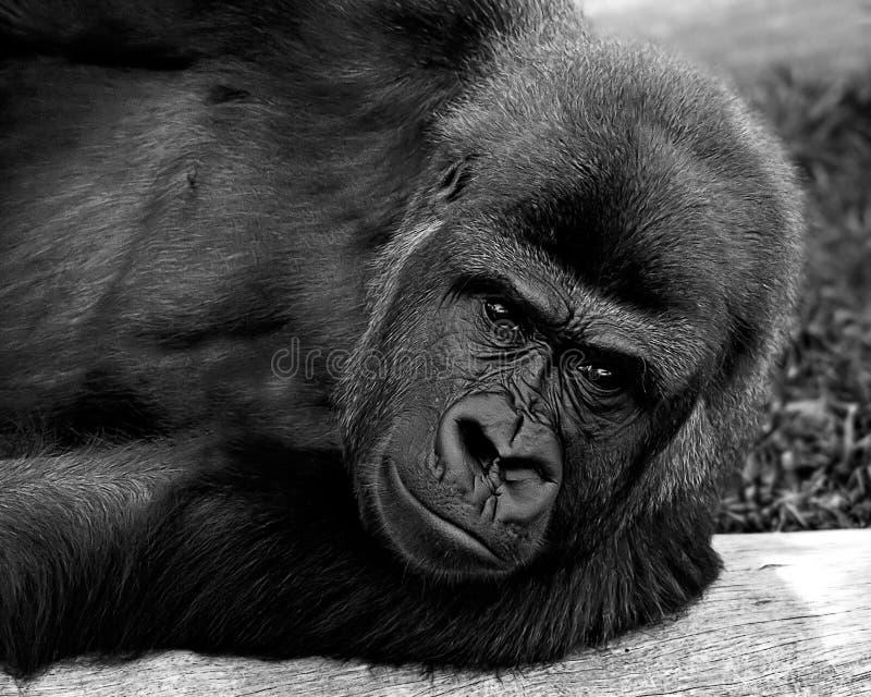 Download Gorilla 2 immagine stock. Immagine di foresta, primate - 3875415