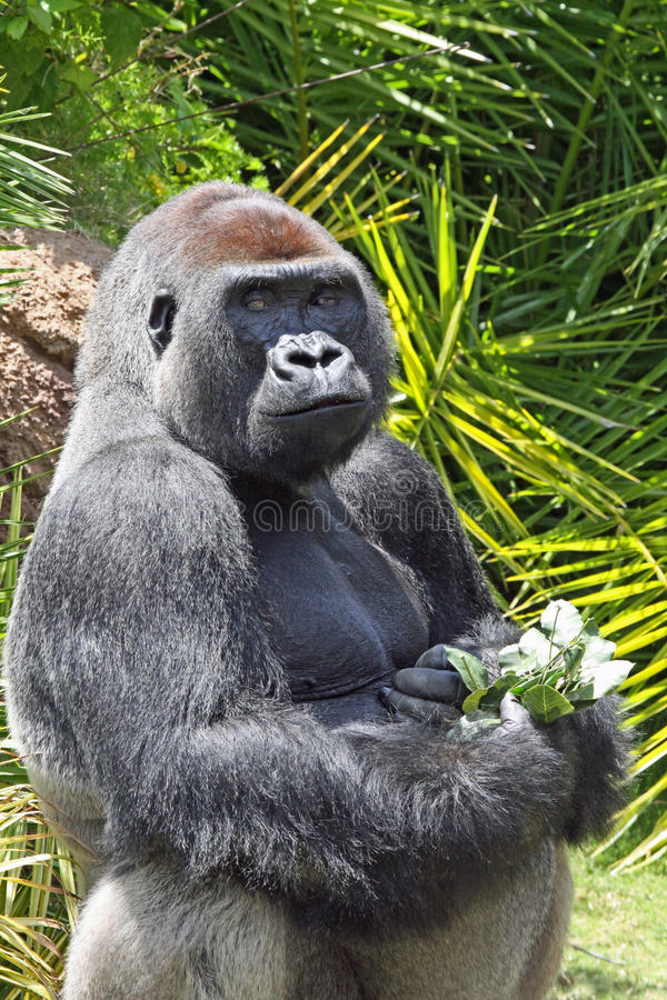 Gorilla. Male Gorilla Holding Leaves And Flowers stock images