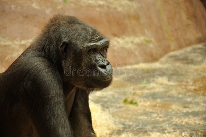 Gorilla stock photos