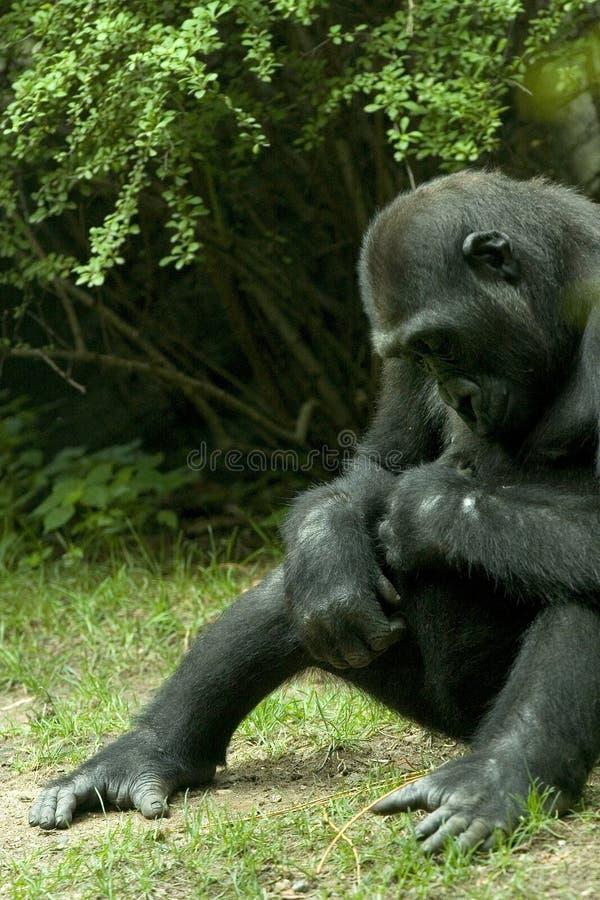 Download Gorilla arkivfoto. Bild av skog, djungel, enormt, wild - 226712