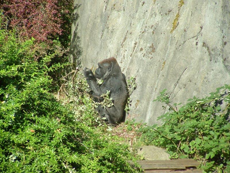Gorilla Free Stock Images