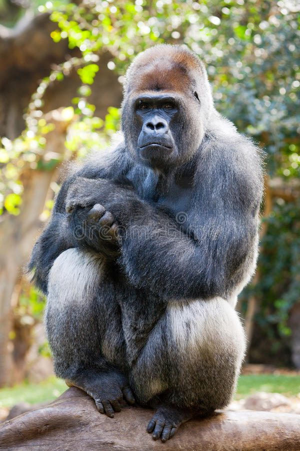 Download Gorilla stock photo. Image of species, adult, wild, animal - 24239628