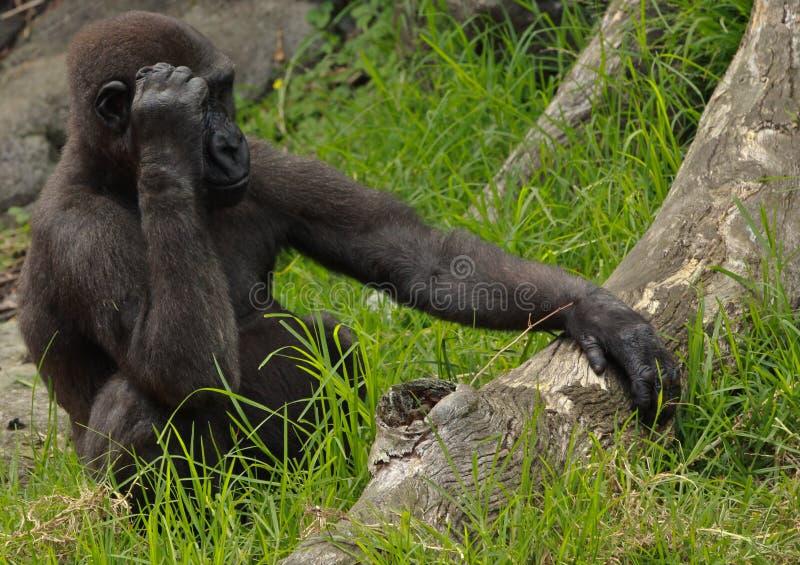 Download Gorilla stock image. Image of primate, flora, herbivore - 24486533