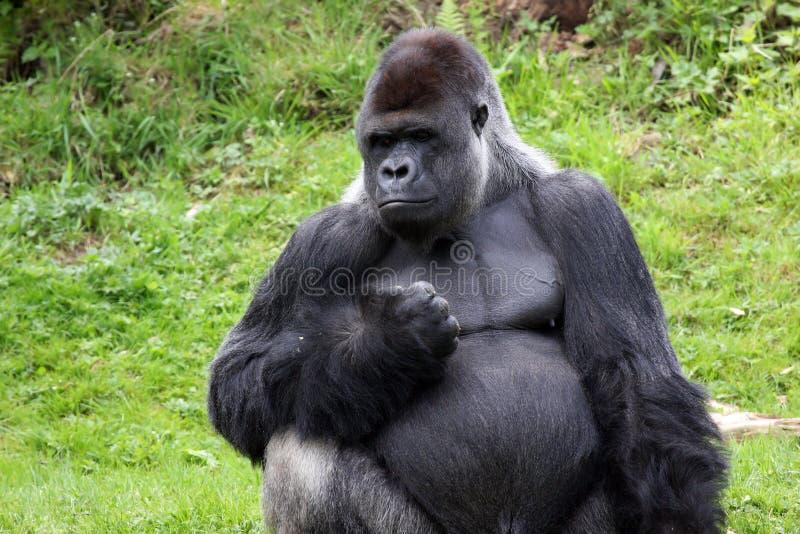Gorilla stockfotos