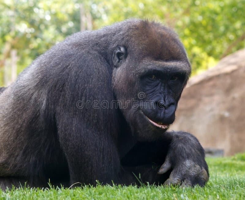 Gorilla. Portrait of young smiling gorilla royalty free stock photo