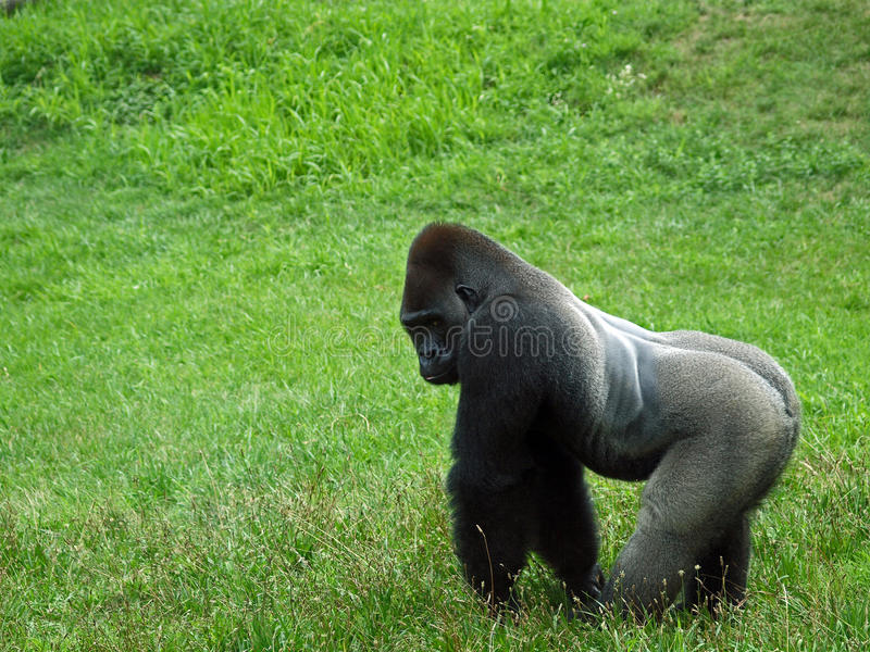 Download Gorilla stock photo. Image of monkey, silver, strong - 26107676