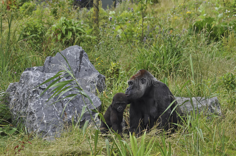 Download Gorilla stock photo. Image of primate, disambiguation - 26149228