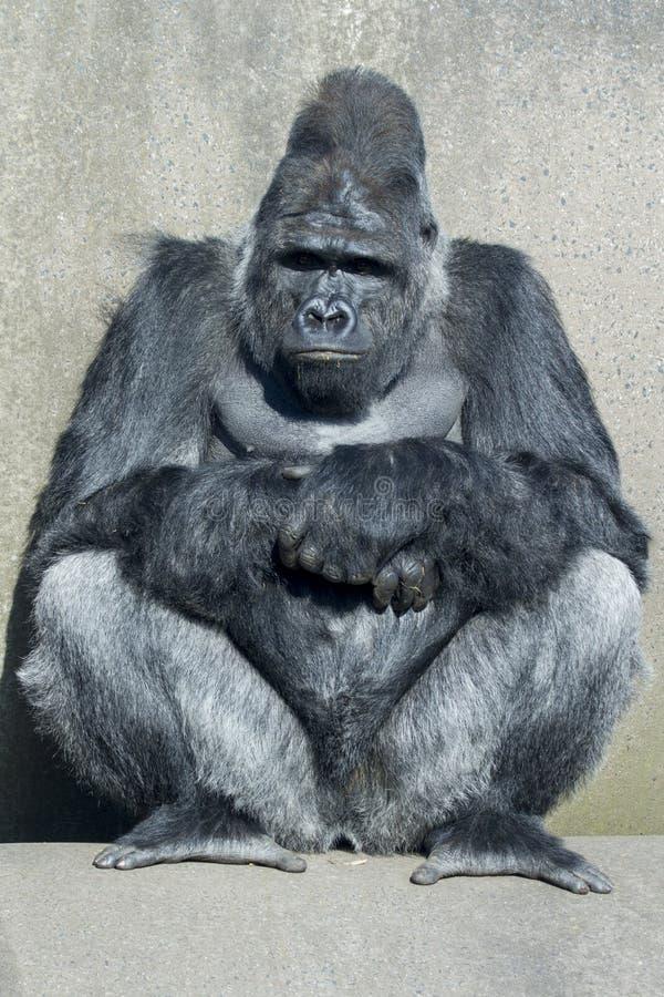 Download Gorilla fotografering för bildbyråer. Bild av enormt - 27281639