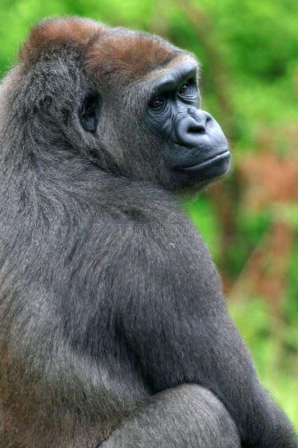 Download Gorilla stock photo. Image of endangered, mammal, mountain - 2756472