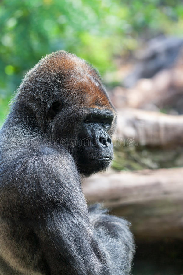 Download Gorilla stock photo. Image of tenerife, strong, black - 28006510