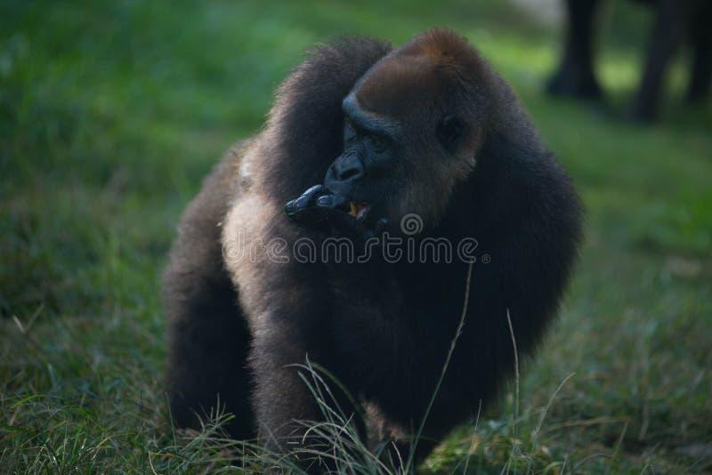 Download Gorilla stock image. Image of grass, endangered, beast - 28995213
