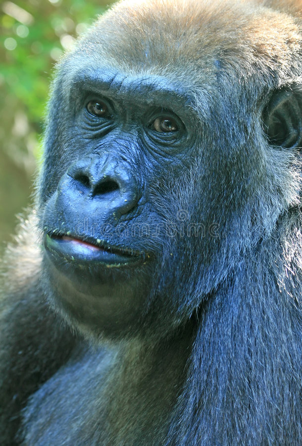 Free Gorilla Royalty Free Stock Photography - 3378107