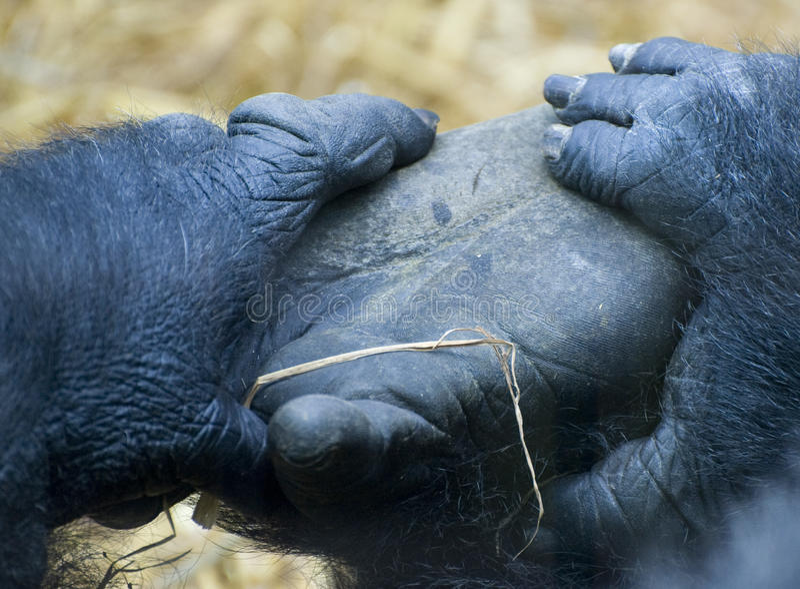 Gorilla 4 fotografie stock libere da diritti