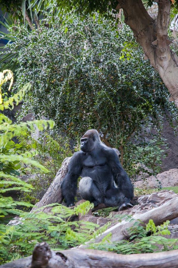 gorilla immagine stock