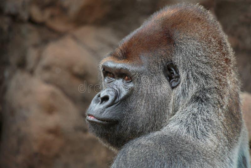 gorilla fotos de stock royalty free