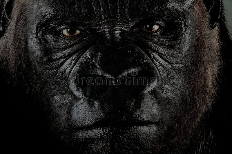 Gorilla. The big black beast gorilla, King Kong stock photography