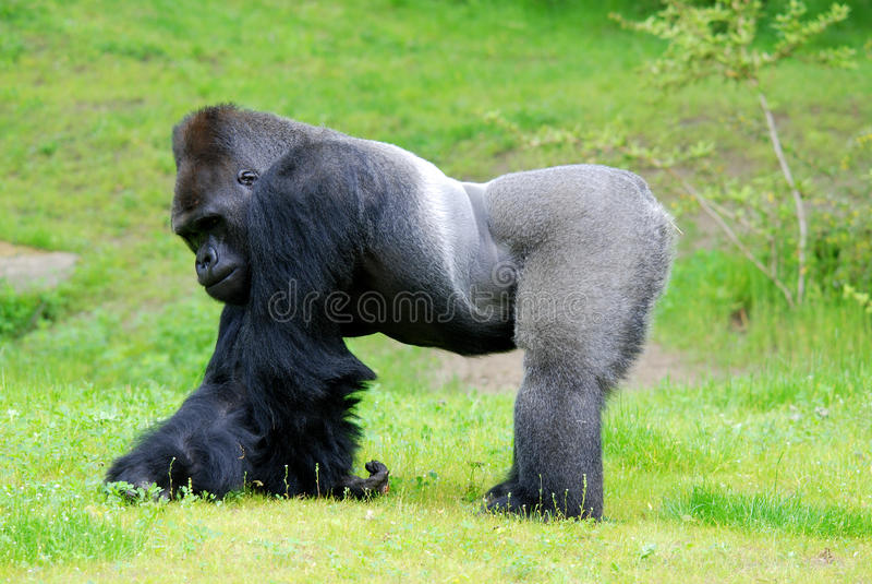 gorilla fotografie stock