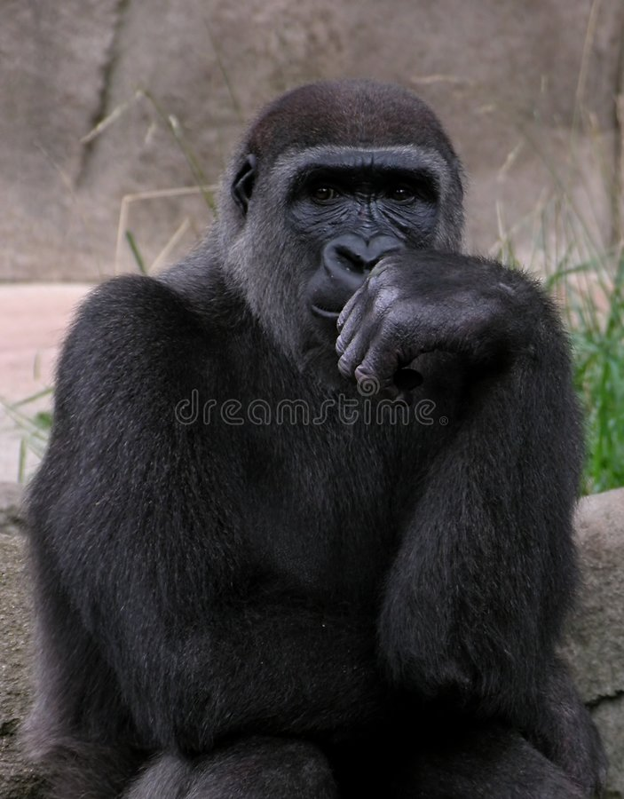 Gorilla. Gorrilla thinking stock photos