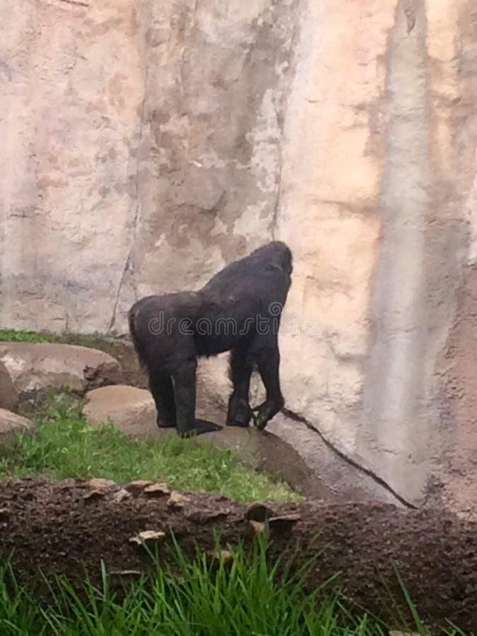 gorilla royaltyfri fotografi